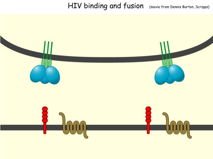 HIV binding and fusion