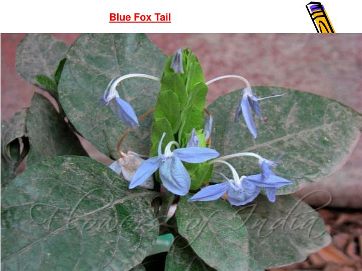 Blue Fox Tail