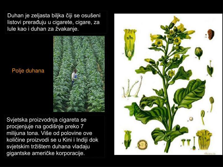 Duhan je zeljasta biljka čiji se osušeni listovi