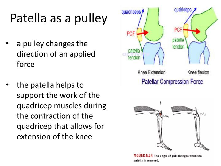 Patella as a pulley
