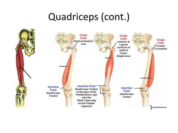 Quadriceps (cont.)
