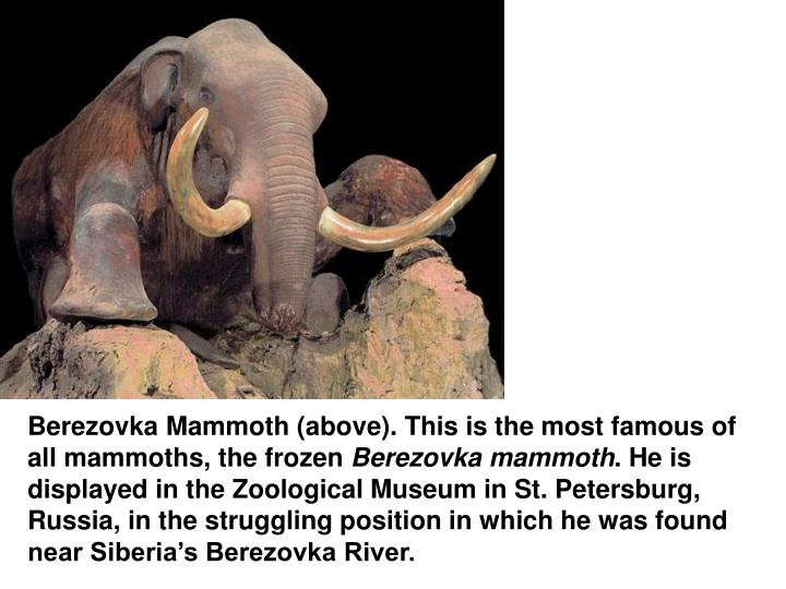 Berezovka Mammoth (above). This is the most famous of all mammoths, the frozen