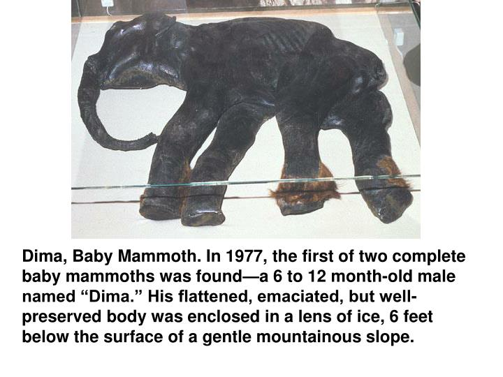 """Dima, Baby Mammoth. In 1977, the first of two complete baby mammoths was found—a 6 to 12 month-old male named """"Dima."""" His flattened, emaciated, but well-preserved body was enclosed in a lens of ice, 6 feet below the surface of a gentle mountainous slope."""
