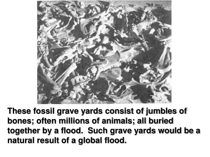 These fossil grave yards consist of jumbles of bones; often millions of animals; all buried together by a flood. Such grave yards would be a natural result of a global flood.