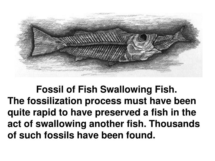 Fossil of Fish Swallowing Fish.