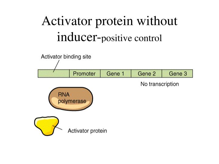 Activator protein without inducer-