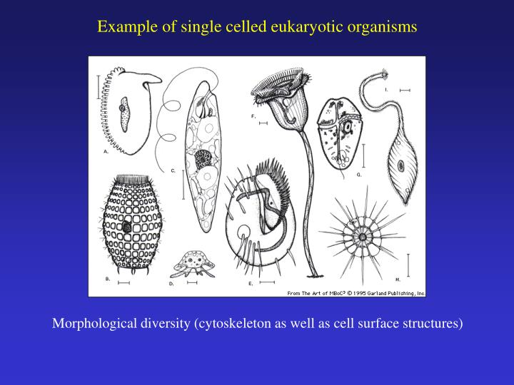 Example of single celled eukaryotic organisms