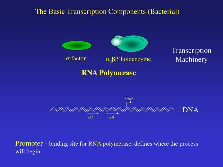 The Basic Transcription Components (Bacterial)