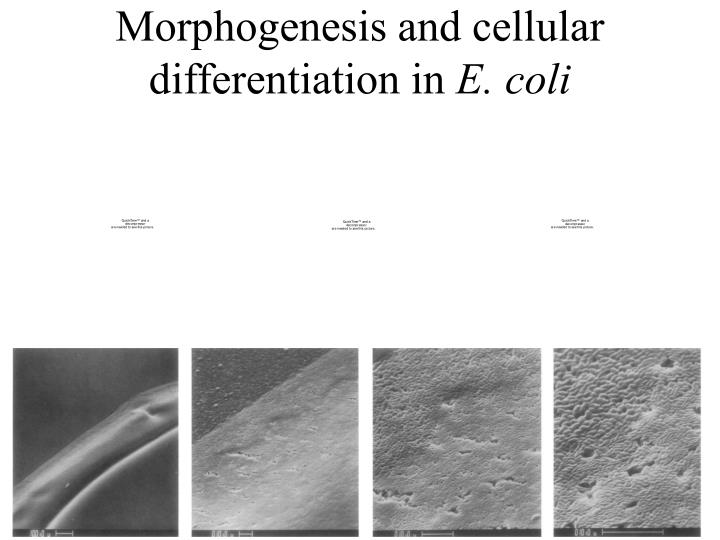 Morphogenesis and cellular differentiation in