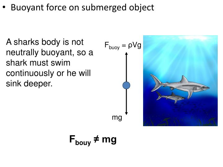 A sharks body is not neutrally buoyant, so a shark must swim continuously or he will sink deeper.