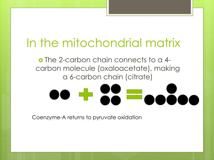 In the mitochondrial matrix