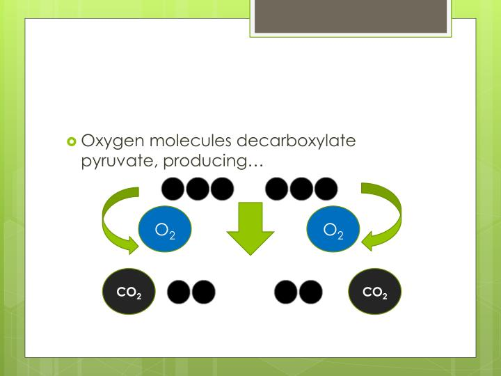Oxygen molecules decarboxylate pyruvate, producing…