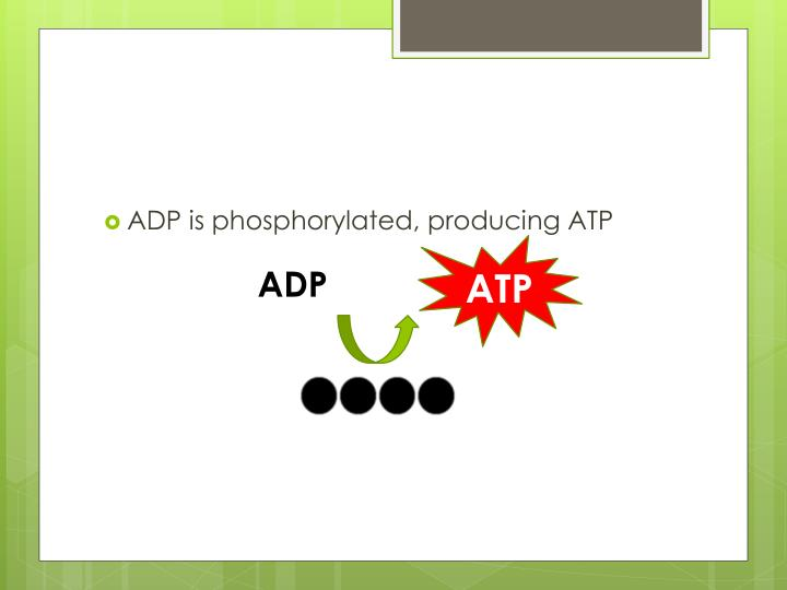 ADP is phosphorylated, producing ATP
