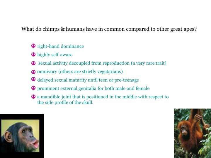 What do chimps & humans have in common compared to other great apes?