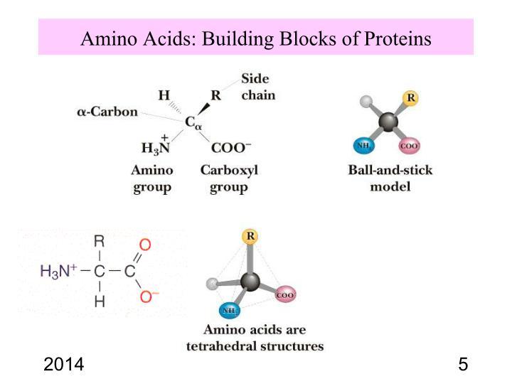 Amino Acids: Building Blocks of Proteins
