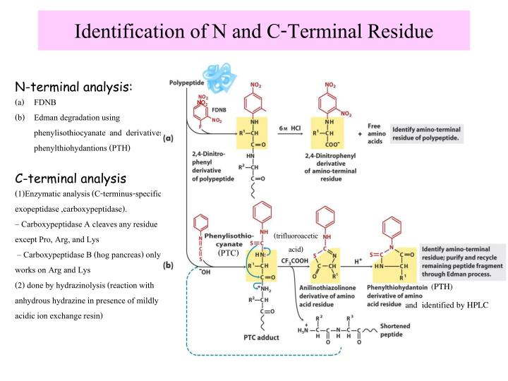 Identification of N and C-Terminal Residue