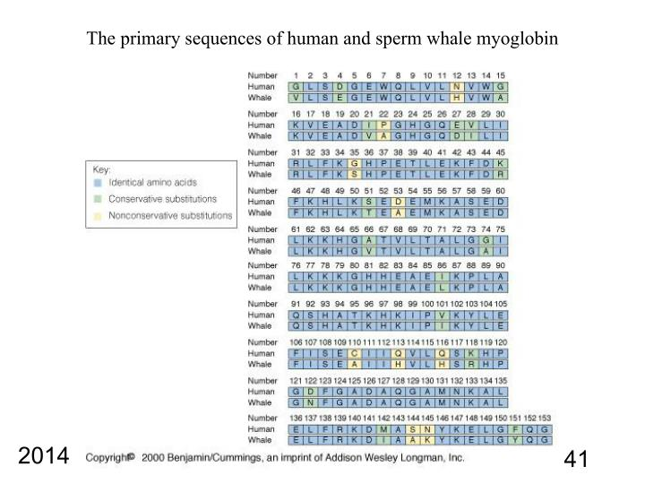 The primary sequences of human and sperm whale myoglobin