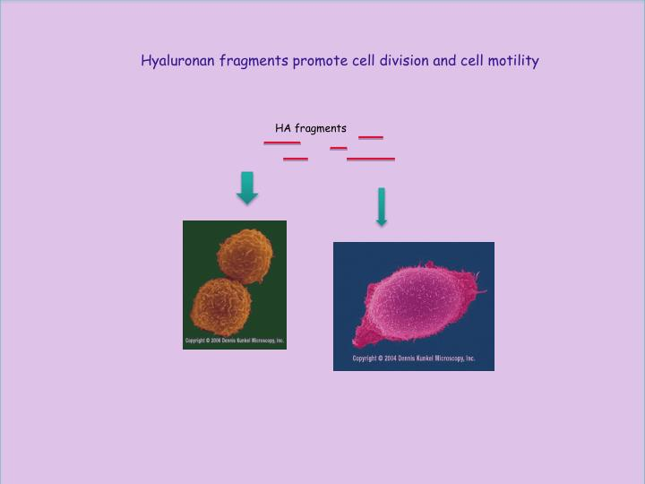 Hyaluronan fragments promote cell division and cell motility