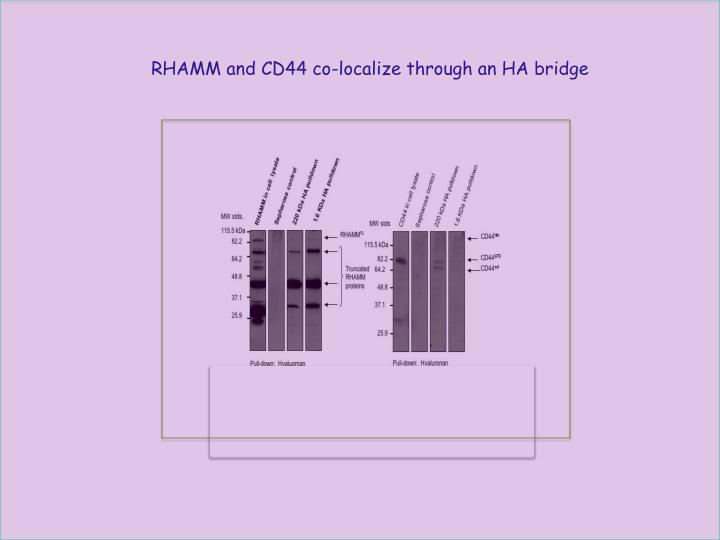 RHAMM and CD44 co-localize through an HA bridge