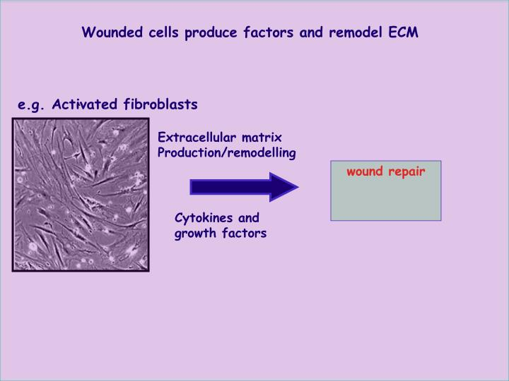 Wounded cells produce factors and remodel ECM
