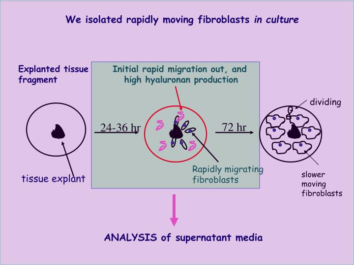 We isolated rapidly moving fibroblasts