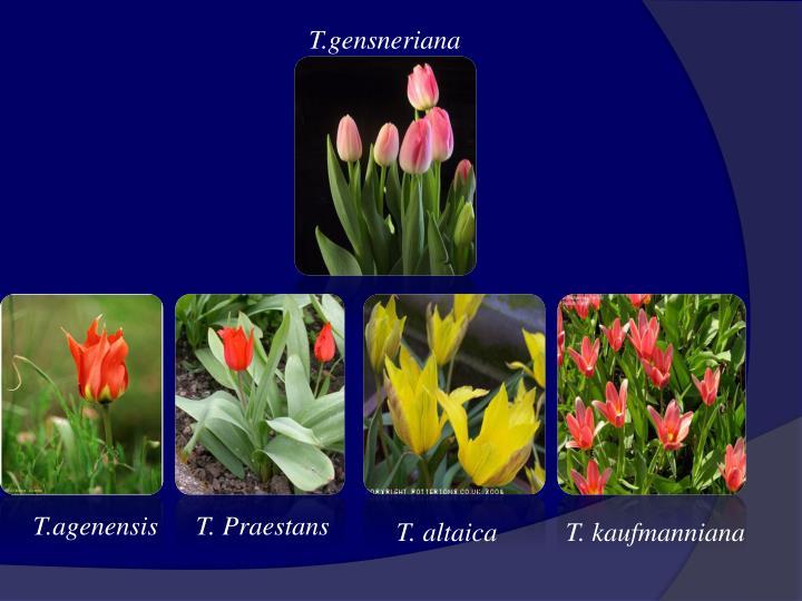 T.gensneriana