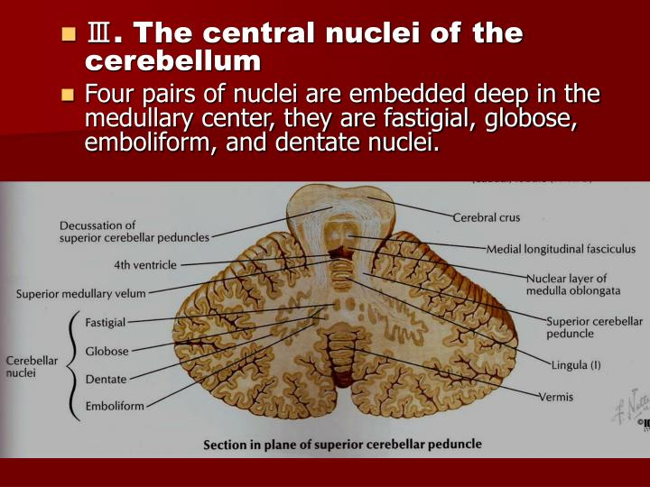 Ⅲ. The central nuclei of the cerebellum