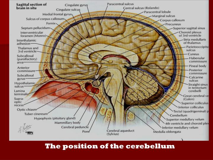 The position of the cerebellum