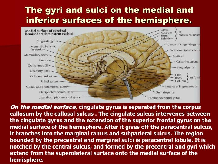 The gyri and sulci on the medial and inferior surfaces of the hemisphere.