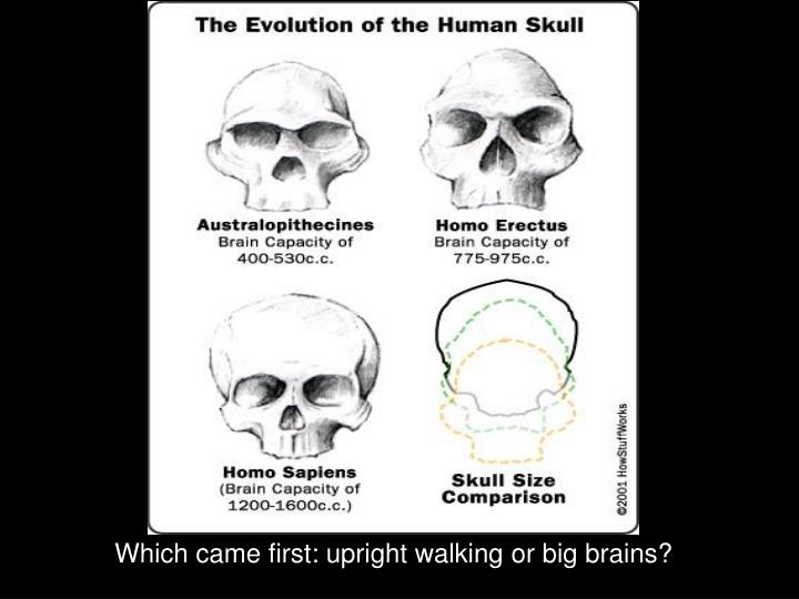 Which came first: upright walking or big brains?