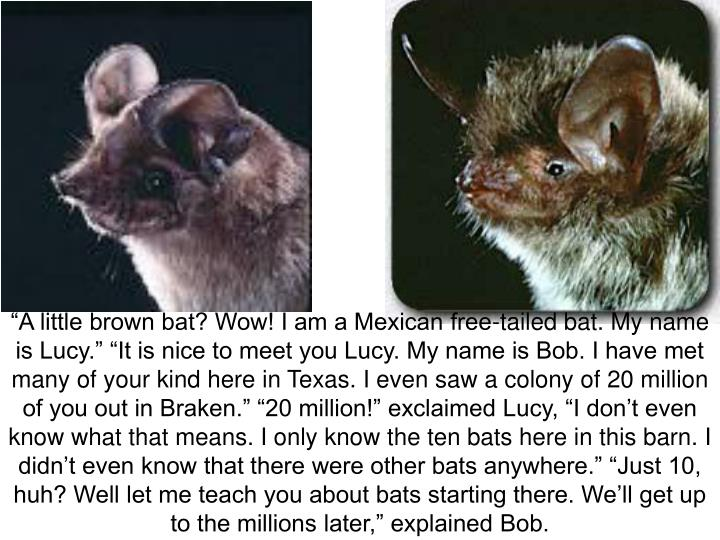 """A little brown bat? Wow! I am a Mexican free-tailed bat. My name is Lucy."" ""It is nice to meet you Lucy. My name is Bob. I have met many of your kind here in Texas. I even saw a colony of 20 million of you out in Braken."" ""20 million!"" exclaimed Lucy, ""I don't even know what that means. I only know the ten bats here in this barn. I didn't even know that there were other bats anywhere."" ""Just 10, huh? Well let me teach you about bats starting there. We'll get up to the millions later,"" explained Bob."