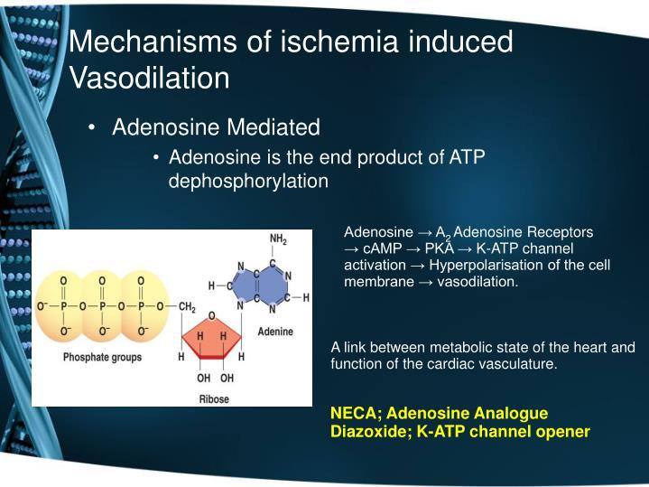 Mechanisms of ischemia induced Vasodilation