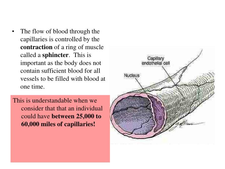 The flow of blood through the capillaries is controlled by the