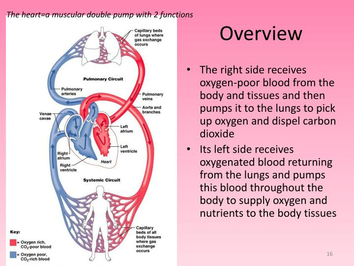 The heart=a muscular double pump with 2 functions