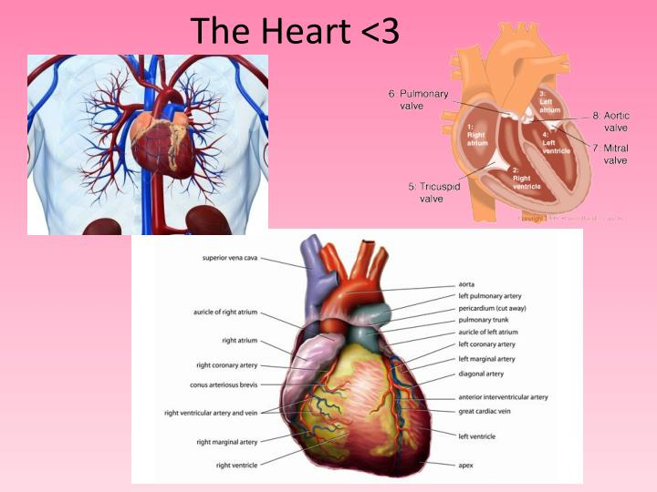 The Heart <3