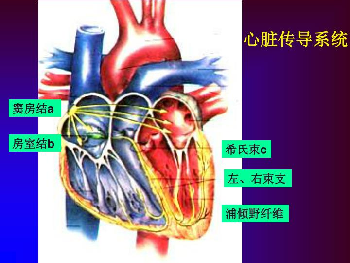 心脏传导系统