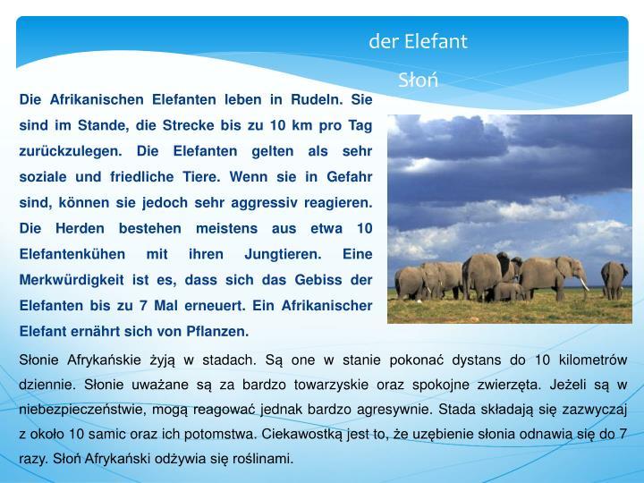 Die Afrikanischen Elefanten leben in Rudeln. Sie sind im Stande, die Strecke bis zu 10 km pro Tag zurückzulegen. Die Elefanten gelten als sehr soziale und friedliche Tiere. Wenn sie in Gefahr sind, können sie jedoch sehr aggressiv reagieren. Die Herden bestehen meistens aus etwa 10 Elefantenkühen mit ihren Jungtieren. Eine Merkwürdigkeit ist es, dass sich das Gebiss der Elefanten bis zu 7 Mal erneuert. Ein Afrikanischer Elefant ernährt sich von Pflanzen.