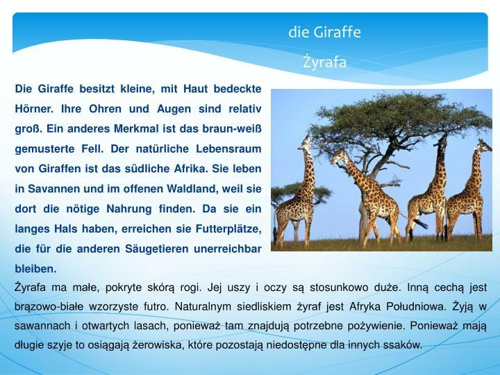Die Giraffe besitzt kleine, mit Haut bedeckte Hörner. Ihre Ohren und Augen sind relativ groß. Ein anderes Merkmal ist das braun-weiß gemusterte Fell. Der natürliche Lebensraum von Giraffen ist das südliche Afrika. Sie leben in Savannen und i