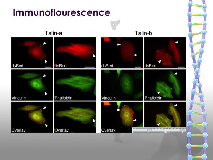 Immunoflourescence