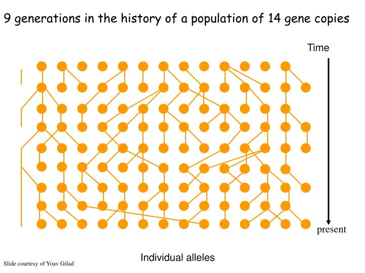 9 generations in the history of a population of 14 gene copies