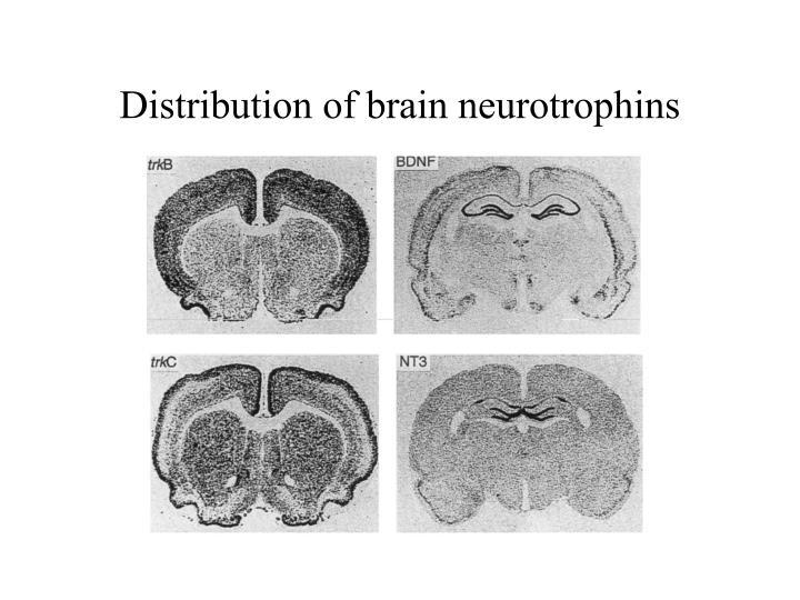 Distribution of brain neurotrophins