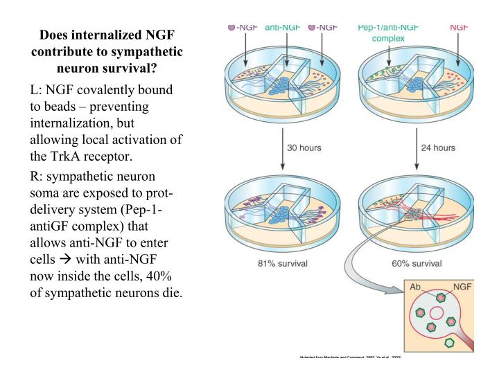 Does internalized NGF contribute to sympathetic neuron survival?