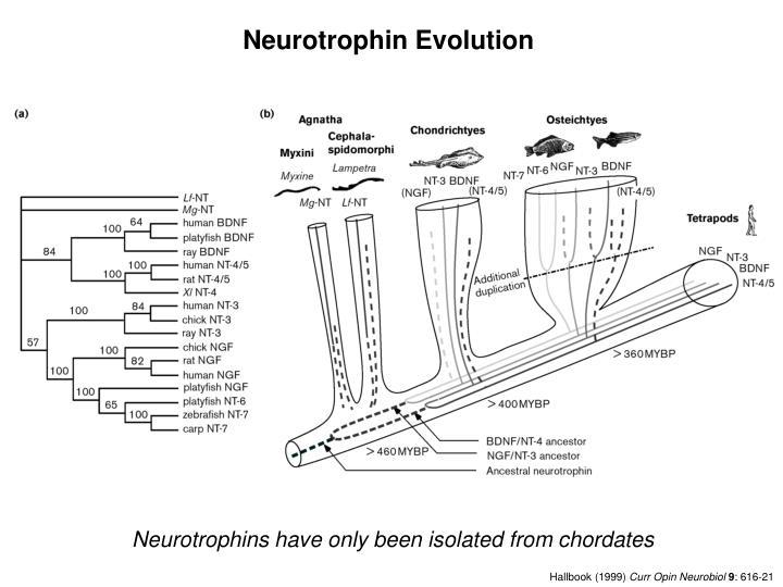 Neurotrophin Evolution
