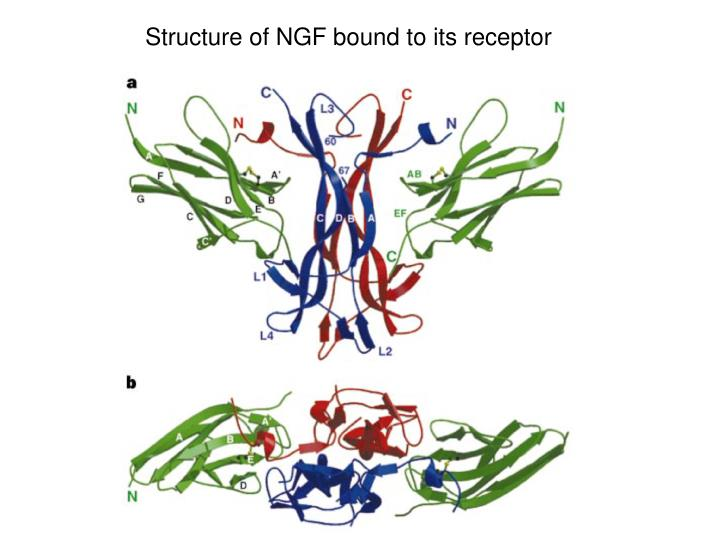 Structure of NGF bound to its receptor