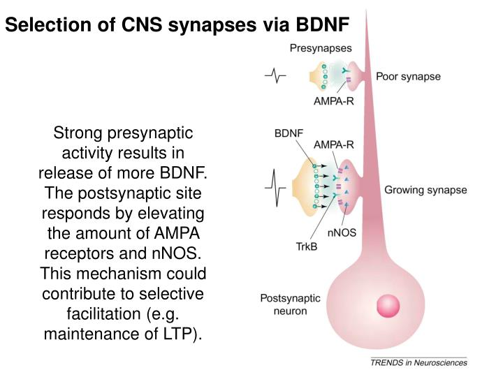 Selection of CNS synapses via BDNF