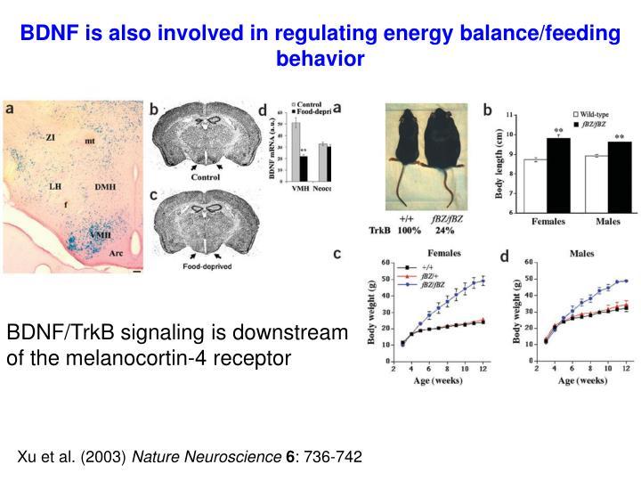 BDNF is also involved in regulating energy balance/feeding behavior