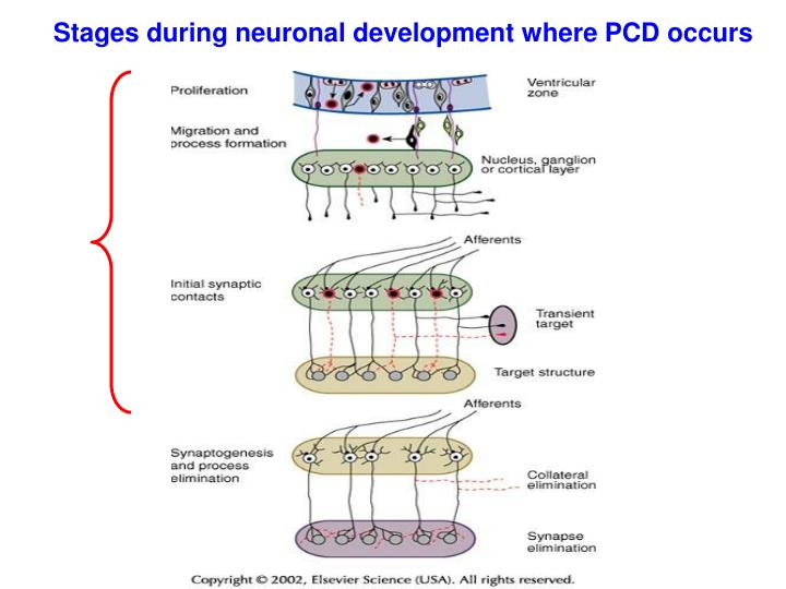 Stages during neuronal development where PCD occurs