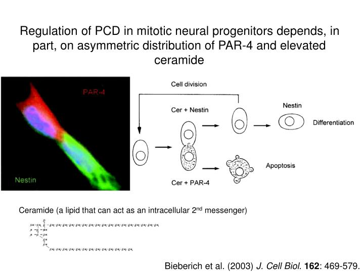 Regulation of PCD in mitotic neural progenitors depends, in part, on asymmetric distribution of PAR-4 and elevated ceramide