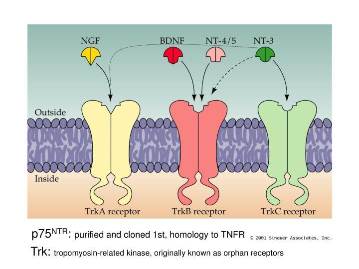 The Trk Family of Receptor Tyrosine Kinases for the Neurotrophins