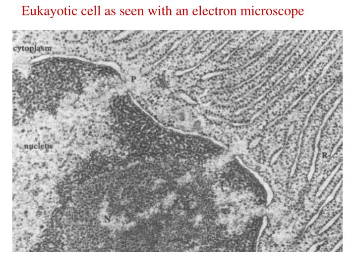 Eukayotic cell as seen with an electron microscope